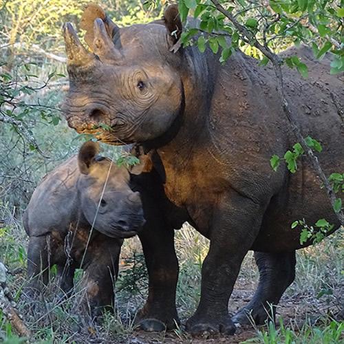 Mabuya and her calf